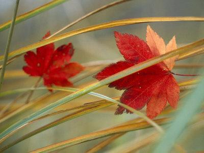 https://imgc.artprintimages.com/img/print/two-fall-orange-fall-leaves-amid-yellow-reeds-with-out-of-focus-green-background_u-l-p7fwm80.jpg?p=0