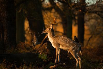 Two Fallow Deer, Cervus Elaphus, in London's Richmond Park-Alex Saberi-Photographic Print