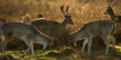 Two Fallow Deer, Dama Dama, Fighting in London's Richmond Park-Alex Saberi-Photographic Print