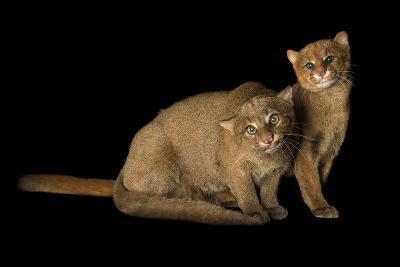 Two Federally Endangered Jaguarundis, Puma Yagouaroundi, at Bear Creek Feline Center-Joel Sartore-Photographic Print