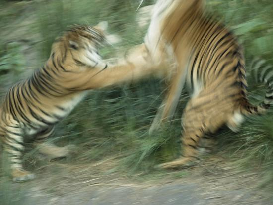 Two Fighting Sumatran Tigers in Blurred Motion-Jason Edwards-Photographic Print