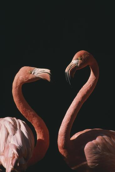 Two Flamingoes-DLILLC-Photographic Print