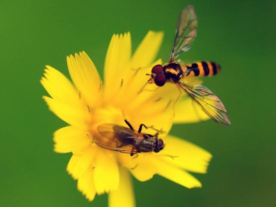 Two Flies Pollinate a Yellow Flower-Darlyne A^ Murawski-Photographic Print