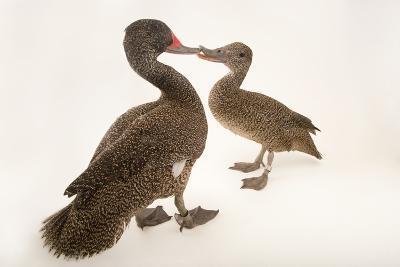 Two Freckled Ducks, Stictonetta Naevosa, at Sylvan Heights Bird Park-Joel Sartore-Photographic Print