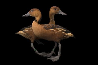 Two Fulvous Whistling Ducks, Dendrocygna Bicolor, at the Living Desert in Palm Desert, California-Joel Sartore-Photographic Print
