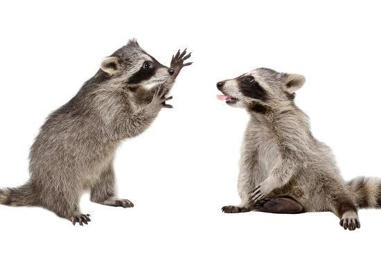 Two Funny Raccoon Playing Together-Sonsedskaya-Photographic Print