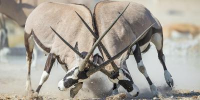 Two Gemsbok Bulls (Oryx Gazella) Males Fighitng, Etosha National Park, Namibia-Wim van den Heever-Photographic Print
