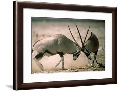 Two Gemsbok Butting Heads-DLILLC-Framed Photographic Print