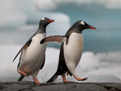 Two Gentoo Penguins-Darrell Gulin-Photographic Print