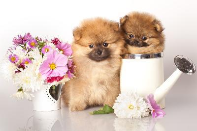 Two German (Pomeranian) Spitz Puppies And Flowers On White Background-Lilun-Photographic Print