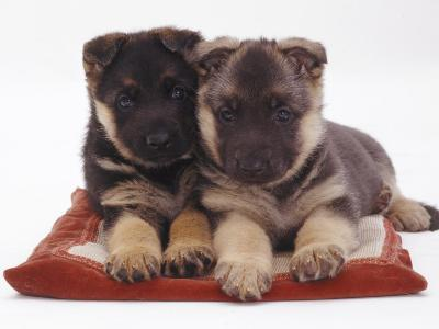 Two German Shepherd Dog Alsatian Pups, 5 Weeks Old, Lying on a Pillow-Jane Burton-Photographic Print