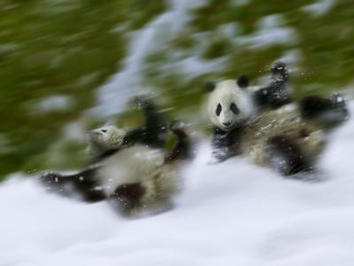 Two Giant Panda Cubs Rolling on Snow, Wolong Ziran Baohuqu, Sichuan, China-Keren Su-Photographic Print