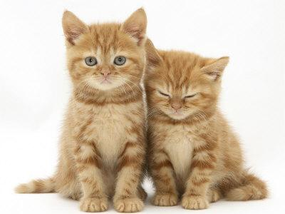 https://imgc.artprintimages.com/img/print/two-ginger-domestic-kittens-felis-catus_u-l-q10nzez0.jpg?p=0