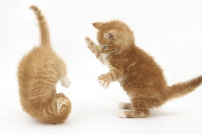 Two Ginger Kittens, 7 Weeks, Play-Fighting-Mark Taylor-Photographic Print