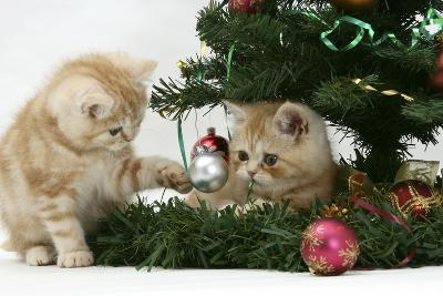 Two Ginger Kittens Playing with Decorations in a Christmas Tree-Mark Taylor-Photographic Print