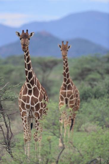 Two Giraffes Walking through the Bush-DLILLC-Photographic Print