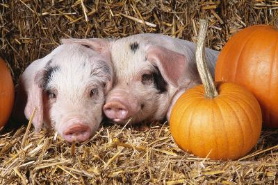 Two Gloucester Old Spot Piglets with Pumpkins--Photographic Print