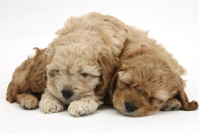 Two Golden Cockerpoo (Cocker Spaniel X Poodle) Puppies Sleeping-Mark Taylor-Photographic Print