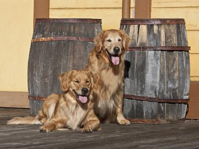 Two Golden Retrievers Next to Two Wooden Barrels on a Wooden Deck-Zandria Muench Beraldo-Photographic Print