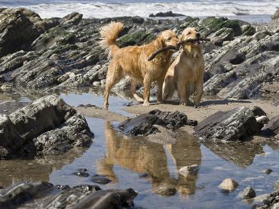 Two Golden Retrievers Playing with a Stick Next to a Tidal Pool at a Beach-Zandria Muench Beraldo-Photographic Print