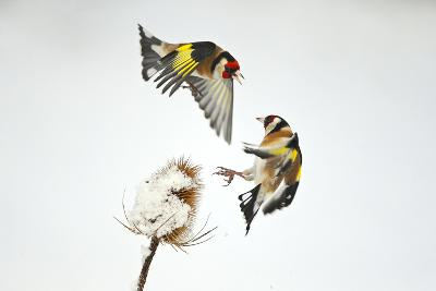 Two Goldfinches (Carduelis Carduelis) Squabbling over Common Teasel Seeds, Cambridgeshire, UK-Mark Hamblin-Photographic Print