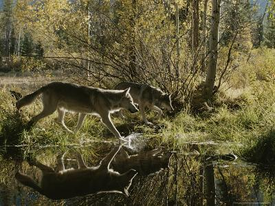 Two Gray Wolves, Canis Lupus, Cross a Small Woodland Pond-Jim And Jamie Dutcher-Photographic Print