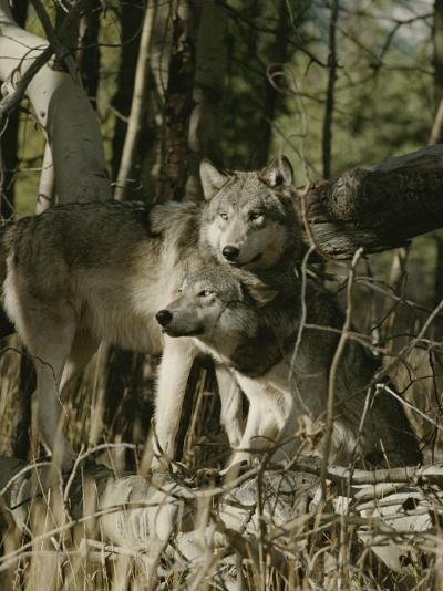 Two Gray Wolves on the Forests Edge-Jim And Jamie Dutcher-Photographic Print