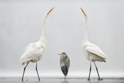 Two Great Egrets (Ardea Alba) Standing Opposite Each Other with Grey Heron (Ardea Cinerea)-Bence Mate-Photographic Print