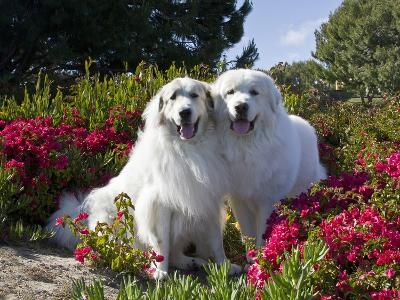 Two Great Pyrenees Together Among Red Flowers, California, USA-Zandria Muench Beraldo-Photographic Print