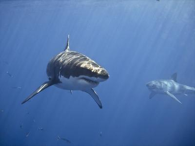 Two Great White Sharks-Photo by George T Probst-Photographic Print