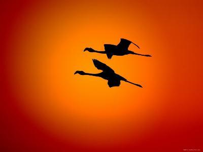 Two Greater Flamingos Flying Across Sunset Sky, Namibia-Tony Heald-Photographic Print