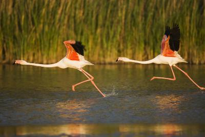 Two Greater Flamingos (Phoenicopterus Roseus) Taking Off from Lagoon, Camargue, France, May 2009-Allofs-Photographic Print