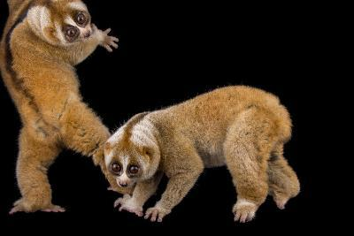 Two Greater Slow Lorises, Nycticebus Coucang, at the Minnesota Zoo-Joel Sartore-Photographic Print