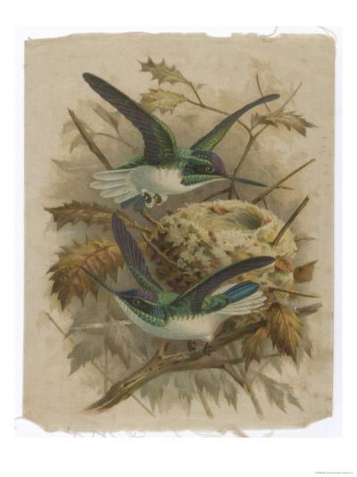 Two Green Birds Nest Building--Giclee Print
