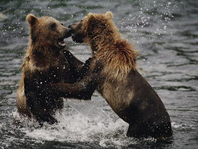 Two Grizzlies, up on Their Hind Legs, Fight in the Water-Joel Sartore-Photographic Print