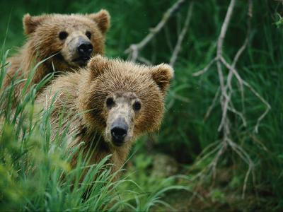 Two Grizzly Bear Cubs Peer out from Behind a Clump of Grass-Joel Sartore-Photographic Print