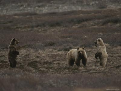 Two Grizzly Bears Face Each Other as If Looking for a Fight-Michael S^ Quinton-Photographic Print