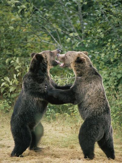 Two Grizzly Bears Have a Playful Fight-Tom Murphy-Photographic Print