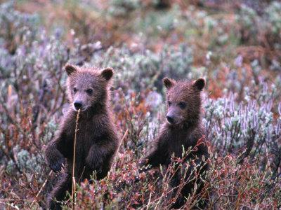 Two Grizzly Cubs (Ursus Arctos), Denali National Park & Preserve, Alaska, USA-Mark Newman-Photographic Print