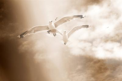 Two Gulls in Flight, Sky, Clouds, Sepia-Coloured-Alaya Gadeh-Photographic Print