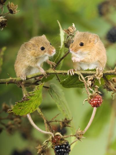 Two Harvest Mice Perching on Bramble with Blackberries, UK-Andy Sands-Photographic Print