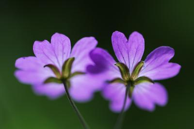 Two Hedgerow Cranesbills (Geranium Pyrenaicum) Flowers, Larochette, Mullerthal, Luxembourg, May- Tønning-Photographic Print