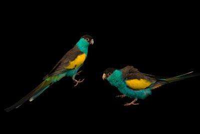 Two Hooded Parakeets, Psephotus Dissimilis, at Sylvan Heights Bird Park-Joel Sartore-Photographic Print