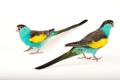Two Hooded Parakeets, Psephotus Dissimilis, at Sylvan Heights Bird Park-Joel Sartore-Photographic Print
