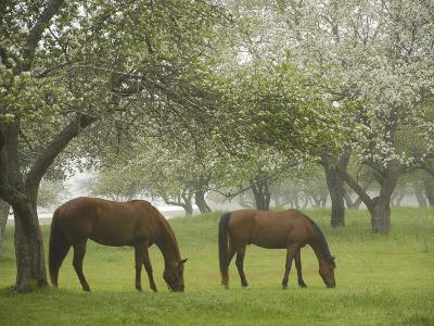 Two Horses Eating in Spring Pasture, Cape Elizabeth, Maine-Nance Trueworthy-Photographic Print