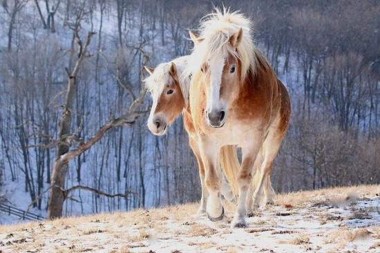 Two Horses on Snowy Hill in Winter-Driftless Studio-Photographic Print