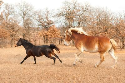 Two Horses Running In A Fall Pasture-Sari ONeal-Photographic Print