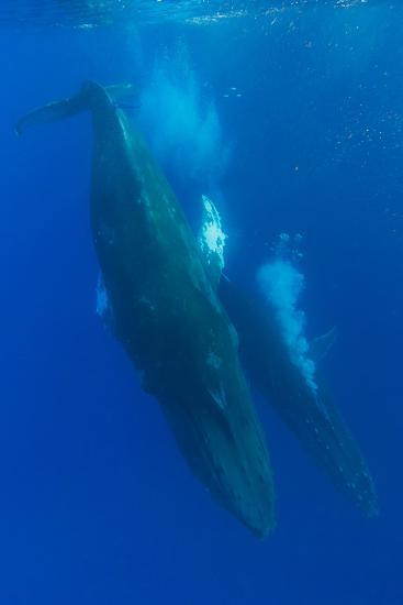 Two Humpback Whales Competitively Dive in the Pacific-Ralph Lee Hopkins-Photographic Print