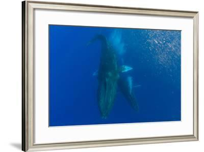 Two Humpback Whales Dance in the Pacific-Ralph Lee Hopkins-Framed Photographic Print