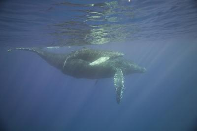 Two Humpback Whales-DLILLC-Photographic Print